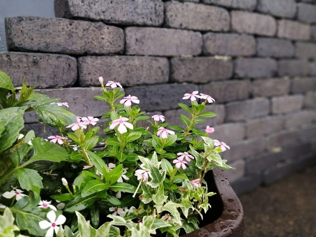 花壇と日々草